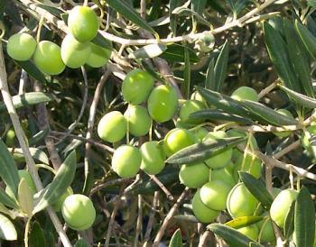 ورشة تدريب على تقليم اشجار الزيتون في الكورة