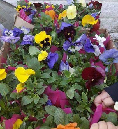 هدية بلدية  بزيزا بعيد الأم نبتة من الزهور تم توزيعها على جميع أمهات البلدة.  كل عام وجميع الأمهات أجمل الزهور في حياتنا