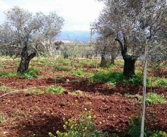 """الكورة- """"شتوي بنيسان بتسوى السكة والنير والفدّان"""" بالنسبة لشجرة الزيتون"""
